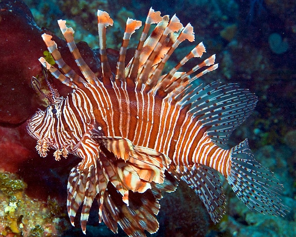 Lionfish photographed on the reefs around Great Inagua, Bahamas