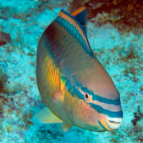 The Princess Parrotfish (Scarus taeniopterus) is a common herbivore on the reefs around Great Inagua