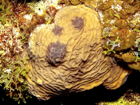 Agaricia agaricites showing dark spots disease on reefs around Great Inagua