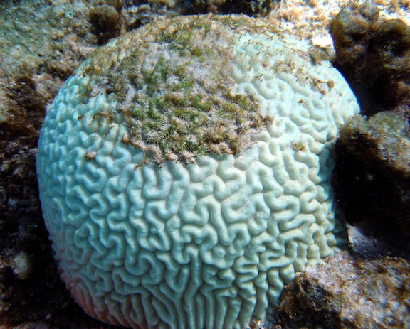 A bleached brain coral becoming overgrown with algae.  Photo: NOAA