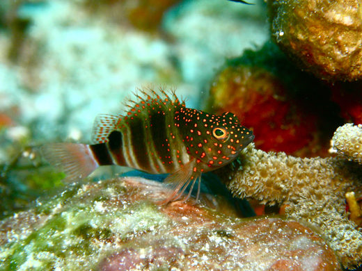 Redspotted hawkfish at Alice Shoal