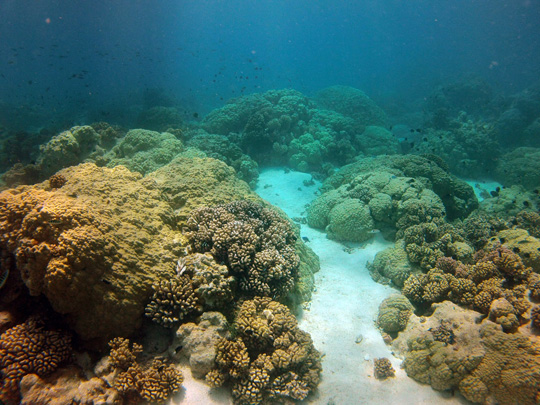 Typical Lagoonal patch reef in Rangiroa with unusually large Porites colonies and Pocillopora colonies