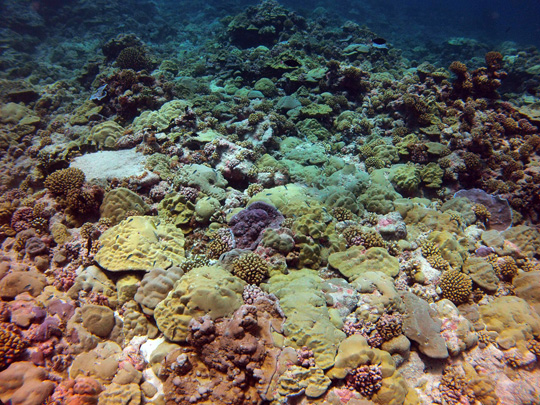 Shallow fore reef (5 m) on the leeward side of Fakarava with a high cover of plating and submassive Porites colonies and other species