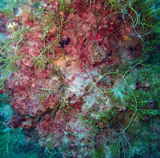 crustose coralline algae under green algae