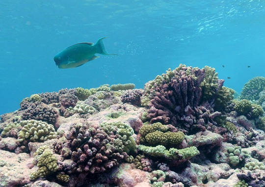 A parrotfish, Chlorurus microrhinos, swims along the reef.