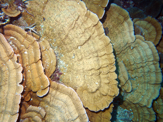 Deep water plates of Montipora