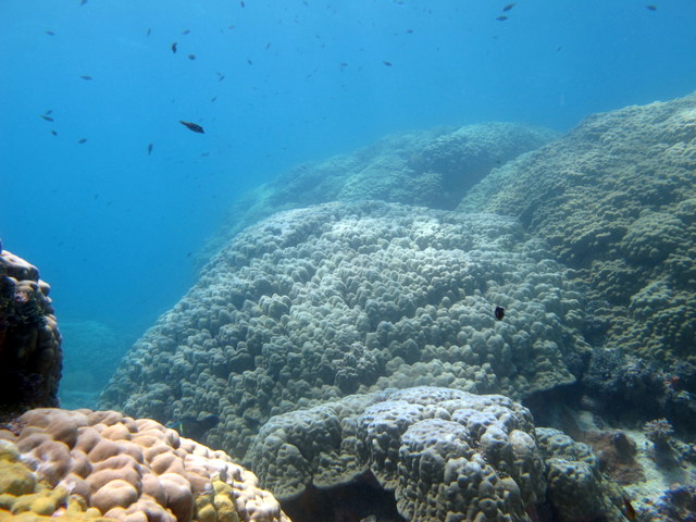 Large healthy Porites colonies at Rangiroa. There were the same colonies that had suffered a mortality event in 1998 and are mostly healthy today.